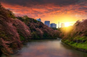 Cherry Blossom Trees at Sunset