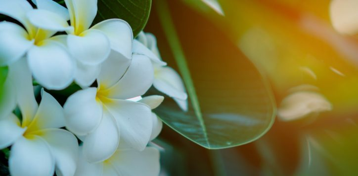 white-yellow-plumeria-flowers-tree-with-sunset-background-1